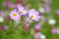 Cosmos flower Stock Photos