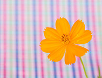 Cosmos flower on colorful stripe  background Royalty Free Stock Photography