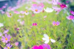 Cosmos flower (Cosmos Bipinnatus) with blue sky Background (Sele. Ctive Focus Stock Photography