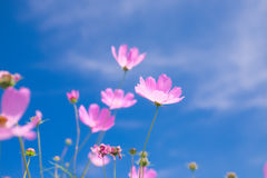 Cosmos flower & x28;Cosmos Bipinnatus& x29; with blue sky Background & x28;Sele. Ctive Focus& x29 Stock Images