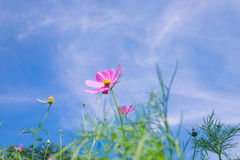 Cosmos flower (Cosmos Bipinnatus) with blue sky Background (Sele. Ctive Focus Stock Image