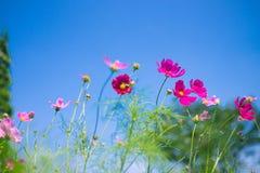 Cosmos flower (Cosmos Bipinnatus) with blue sky Background (Sele. Ctive Focus Royalty Free Stock Image