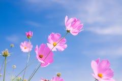 Cosmos flower (Cosmos Bipinnatus) with blue sky Background (Sele. Ctive Focus Stock Photos