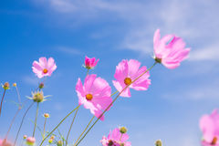 Cosmos flower (Cosmos Bipinnatus) with blue sky Background (Sele. Ctive Focus Royalty Free Stock Images