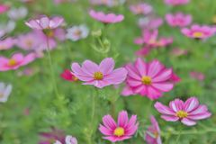 Cosmos flower Cosmos Bipinnatus with blurred back ground. A Cosmos bipinnatus cloroful flowers garden in spring stock photography