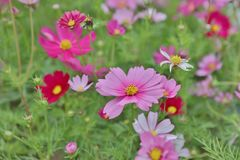 Cosmos flower Cosmos Bipinnatus with blurred back ground. A Cosmos bipinnatus cloroful flowers garden in spring royalty free stock photo