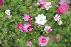 Cosmos flower Cosmos Bipinnatus with blurred back ground. A Cosmos bipinnatus cloroful flowers garden in spring stock image