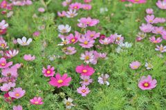 Cosmos flower Cosmos Bipinnatus with blurred back ground. A Cosmos bipinnatus cloroful flowers garden in spring royalty free stock photos