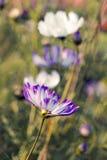 Cosmos flower (Cosmos Bipinnatus) Stock Photos