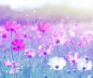 Cosmos flower (Cosmos Bipinnatus) with blurred background. Stock Photo