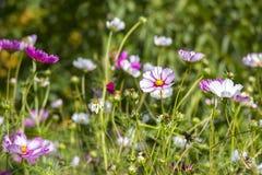 Cosmos flower (Cosmos Bipinnatus) Stock Image