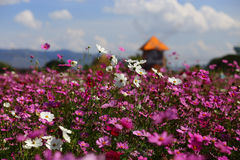 Cosmos flower (Cosmos Bipinnatus) noon time Royalty Free Stock Photography