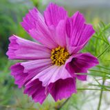 Cosmos flower (Cosmos Bipinnatus) with tubular petals Stock Images