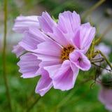 Cosmos flower (Cosmos Bipinnatus) with tubular petals Royalty Free Stock Photos