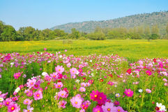 Cosmos flower and crotalaria field Stock Photo