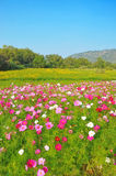 Cosmos flower and crotalaria field. In Korat of Thailand Royalty Free Stock Image