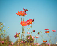 Cosmos flower on dark blue sky background, vintage style Stock Photography