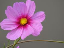 The cosmos flower is a delicate plant that easily beautifies a garden by its many flowers throughout the summer. A pink cosmos with a small insect in in Stock Photo