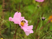 The cosmos flower is a delicate plant that easily beautifies a garden by its many flowers throughout the summer. A pink  cosmos with a small insect in in Stock Image