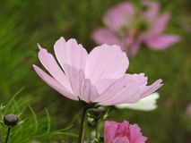 The cosmos flower is a delicate plant that easily beautifies a garden by its many flowers throughout the summer. A pink  cosmos with a small insect in in Royalty Free Stock Photos