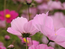 The cosmos flower is a delicate plant that easily beautifies a garden by its many flowers throughout the summer. A pink  cosmos with a small insect in in Royalty Free Stock Photography