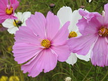 The cosmos flower is a delicate plant that easily beautifies a garden by its many flowers throughout the summer. A pink  cosmos with a small insect in in Royalty Free Stock Images