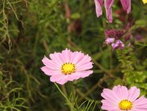The cosmos flower is a delicate plant that easily beautifies a garden by its many flowers throughout the summer. A pink  cosmos with a small insect in in Stock Photography