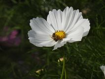The cosmos flower is a delicate plant that easily beautifies a garden by its many flowers throughout the summer. A white cosmos with a small insect in in Stock Photo