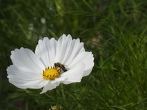 The cosmos flower is a delicate plant that easily beautifies a garden by its many flowers throughout the summer. A white  cosmos with a small insect in in Stock Images