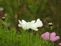 The cosmos flower is a delicate plant that easily beautifies a garden by its many flowers throughout the summer. A white  cosmos with a small insect in in Royalty Free Stock Photography