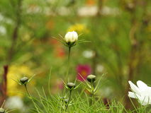 The cosmos flower is a delicate plant that easily beautifies a garden by its many flowers throughout the summer. A white  cosmos with a small insect in in Royalty Free Stock Photo