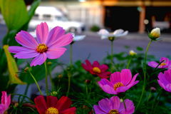 A cosmos flower face beside on road. stock photos