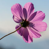 The cosmos flower Stock Photography