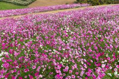 Cosmos flower farm Royalty Free Stock Images