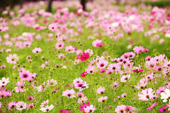 Cosmos Flower Field Stock Image
