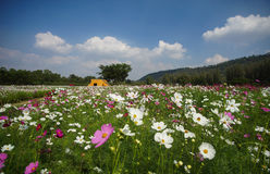 Cosmos flower field. On beautiful blue sky day Royalty Free Stock Image