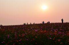 Colorful Cosmos Field at sunset royalty free stock photography
