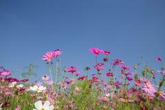 Cosmos flower field Royalty Free Stock Photos