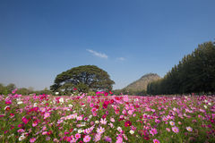 Cosmos flower field Royalty Free Stock Image