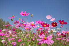 Cosmos flower field Stock Images