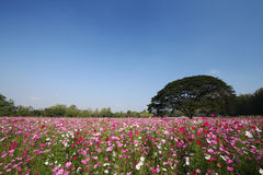 Cosmos flower field Stock Image