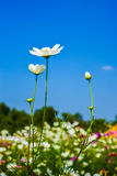 Cosmos flower. Field with blue sky background Stock Photos