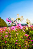 Cosmos flower. Field with blue sky background Stock Photo