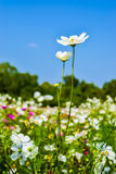 Cosmos flower. Field with blue sky background Royalty Free Stock Images