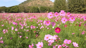 Cosmos flower field. With blue sky background stock footage