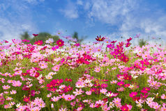 Cosmos Flower field on blue sky background,spring season flowers royalty free stock image