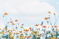 Cosmos flower field with blue sky and cloud background.  stock photo