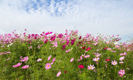 Cosmos Flower field with blue sky,spring season flowers Stock Images