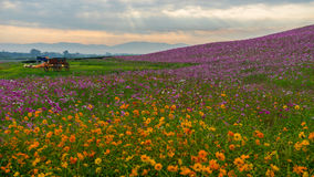 Cosmos flower field Royalty Free Stock Photo