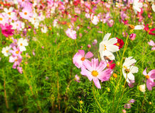 Cosmos flower in the field Royalty Free Stock Photo
